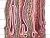intestinal-villi